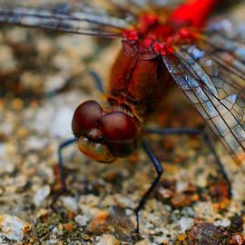 Lilia D - Dragonfly Macro