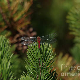 Jeff Swan - Dragonfly on pine