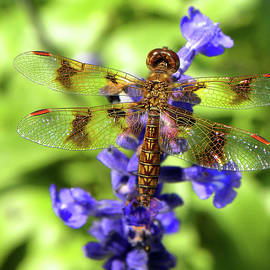 Dragonfly by Sandi OReilly