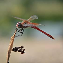 Sanja - Dragonfly