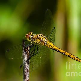 Dragonfly by Torbjorn Swenelius
