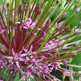 Carol Groenen - Dramatic Allium Closeup