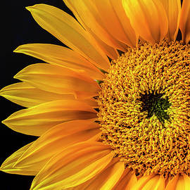 Garry Gay - Dramatic Yellow Sunflower