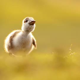 Roeselien Raimond - Dream Duckie _Egyptian Gosling