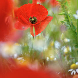 Dream poppy. Wonderful spring by Guido Montanes Castillo