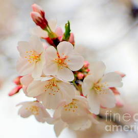 Dreamy Cherry tree Blossoms by Charlene Cox