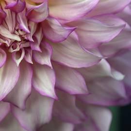 Patricia Strand - Dreamy Dahlia in Purple