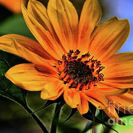 Mariola Bitner - Dreamy Sunflower