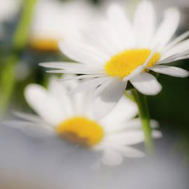Vishwanath Bhat - Dreamy white daisies under natural lighting