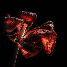 Dried Tulip Blossom - Scott Norris