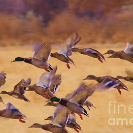 Jeff Swan - Ducks in flight