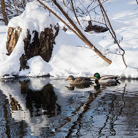 Ducks In Snow by Whitney Leigh Carlson