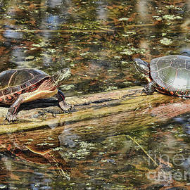 Rebecca Snyder - Dueling Painted Turtles