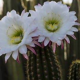 Duet of Night bloomers by Ruth Jolly