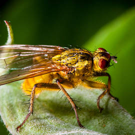 Dung Fly On Leaf by Jeff Phillippi
