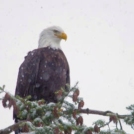Eagle in snowfall by Jeff Swan