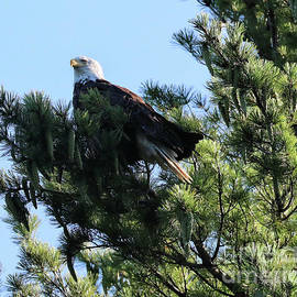 Eagle Overlooking Sand Pond in Maine by Sandra Huston