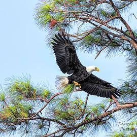 Deborah Benoit - Eagle Series Pine Needles