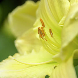 KG Photography - Early Morning Daylily Bloom in Yellow