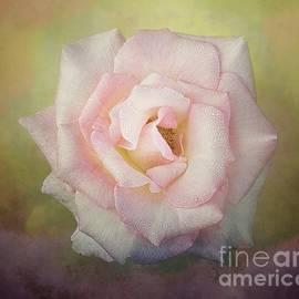 Early Morning Rose by Warrena J Barnerd