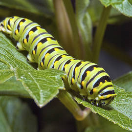 Eastern Black Swallowtail Caterpillar III by Michael Peychich