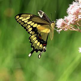 Giant Swallowtail On Joe Pye by Debbie Oppermann