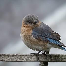 Eastern Bluebird Glance by Jean Noren