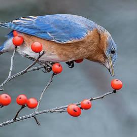 Morris Finkelstein - Eastern Bluebird Perched
