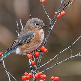 Eastern Bluebird with Red Berries by Morris Finkelstein