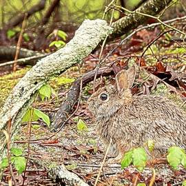 Eastern Cottontail Rabbit by Kristia Adams