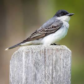 Eastern Kingbird 2018 by Ricky L Jones