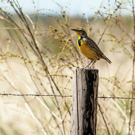 Norman Johnson - Eastern Meadowlark