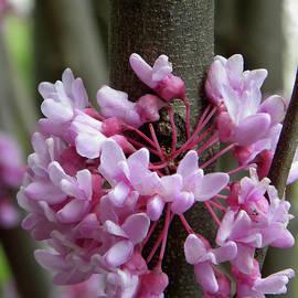 Sandi OReilly - Eastern Redbud Tree