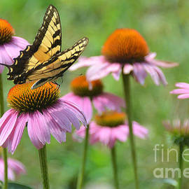 Eastern Tiger Swallowtail Butterfly and Pink Coneflower by Dianne Sherrill