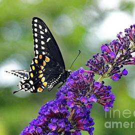 Cindy Treger - Eastern Tiger Swallowtail - Female