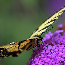 Juergen Roth - Eastern Tiger Swallowtail