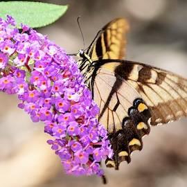 Eastern Tiger Swallowtail on Butterfly Bush by Mary Ann Artz