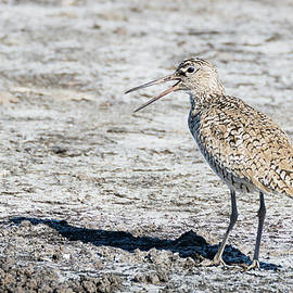 Eastern Willet Song by Dawn Currie