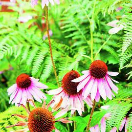 Echinacea flowers - Tom Gowanlock