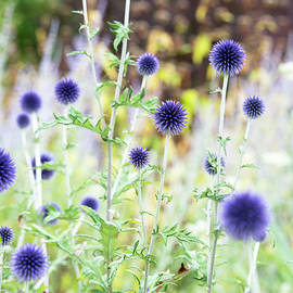 Echinops Ritro Veitchs Blue - Tim Gainey