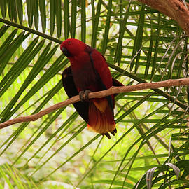 Chris Flees - Eclectus Parrot 3