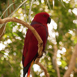 Chris Flees - Eclectus Parrot 5