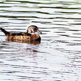 Norman Johnson - Eclipse Male Wood Duck