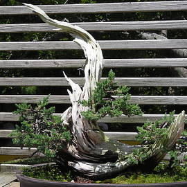 Edgy Bonsai by Stacey Marshall
