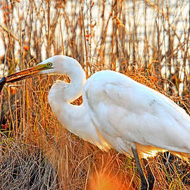 Great Egret fishing as the sun sets at  Forsythe National Wildlife Refuge Galloway NJ by Geraldine Scull