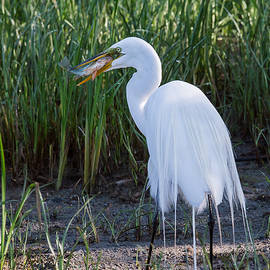 Great Egret by Gina Levesque