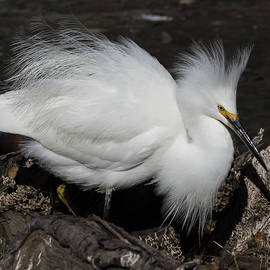 Egret in Splendor by Bruce Frye