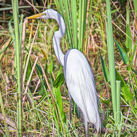 Judy Kay - Egret in the Rough
