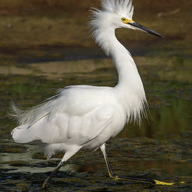 Bruce Frye - Egret on Display