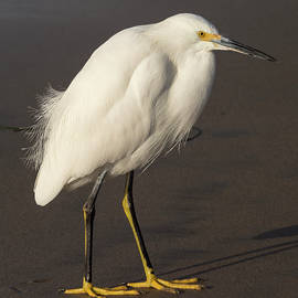 Bruce Frye - Egret on the Sand